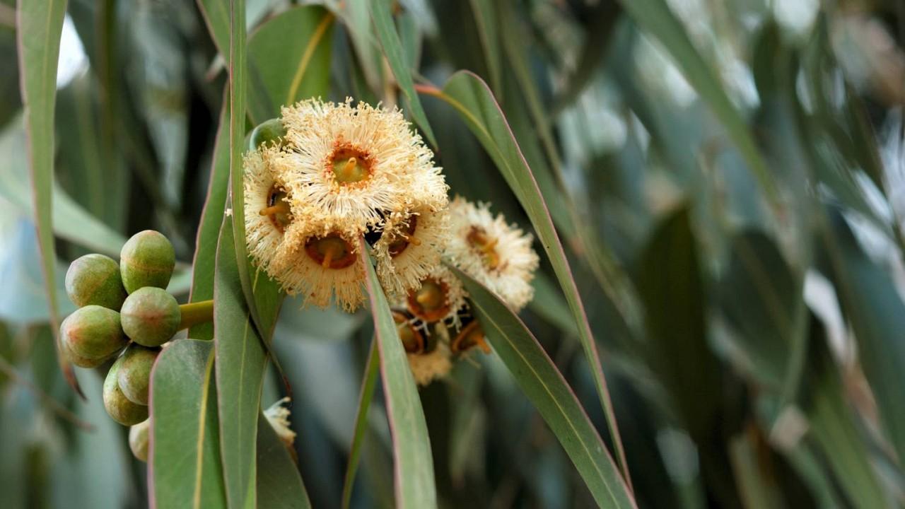 Eukalyptus guľatoplodý