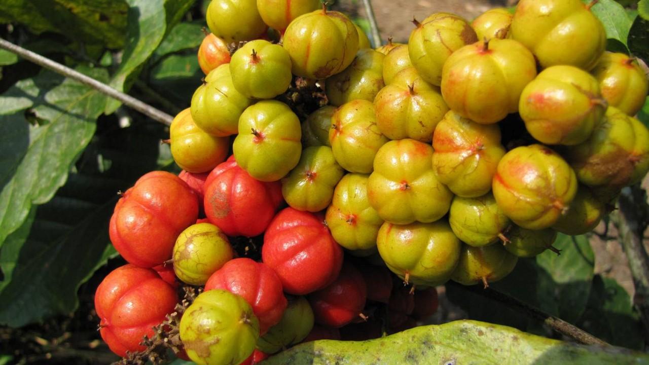 Paulínia nápojová guarana